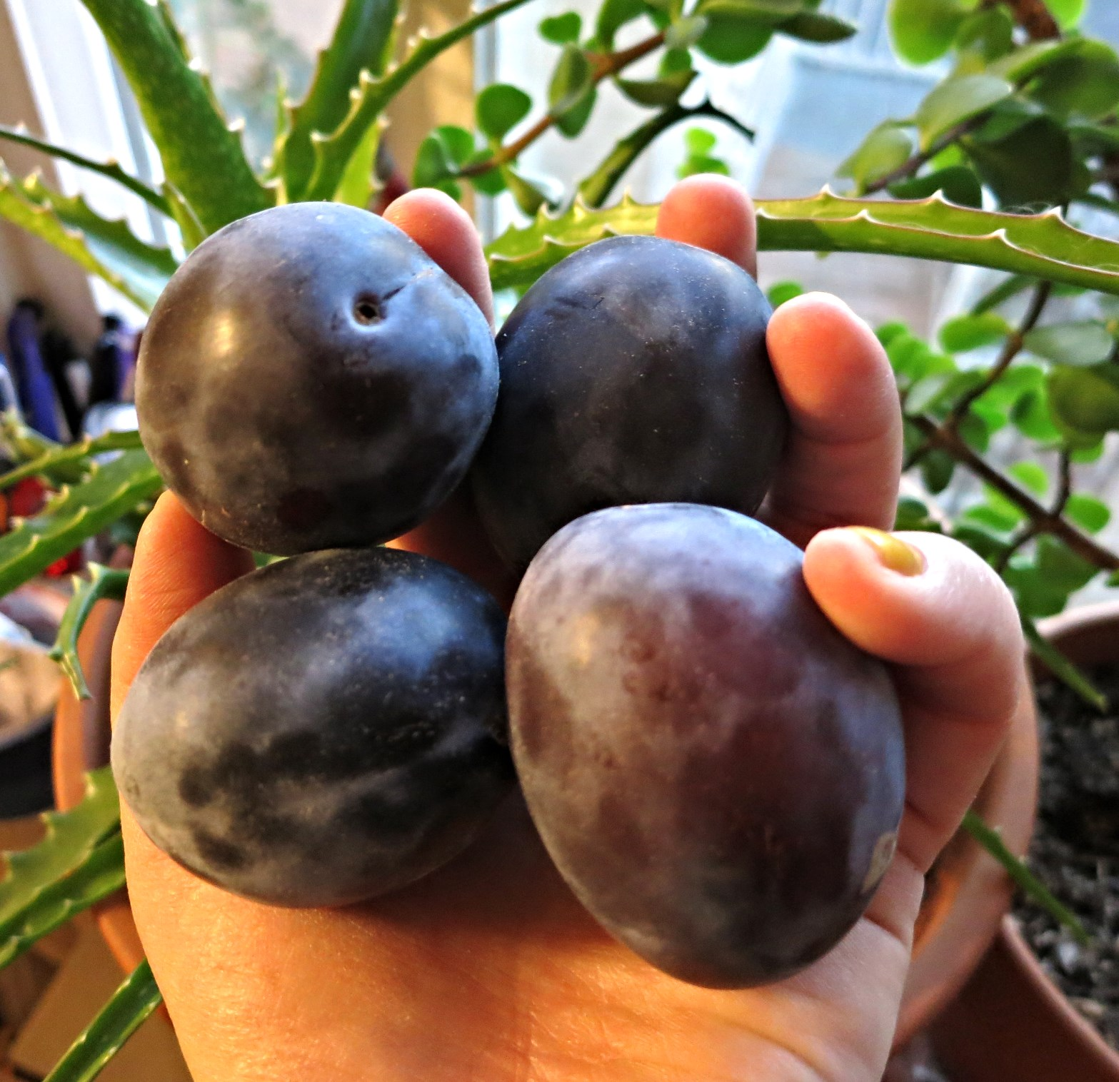 Fresh prune plums! Image source: my hand.
